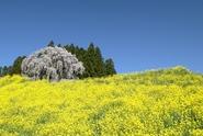 日本三大桜 三春の滝桜まで車で40分です